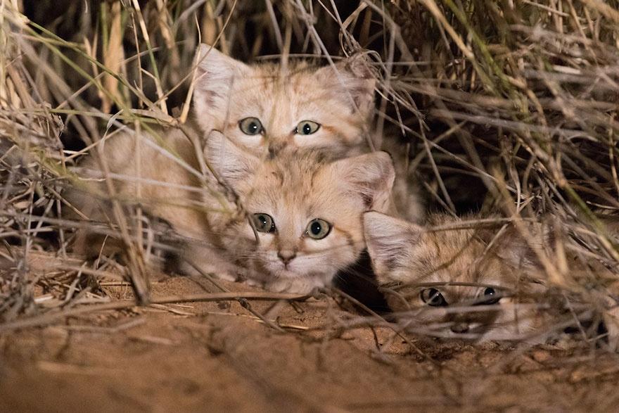 Most először sikerült lefilmezni a vad homoki macskákat