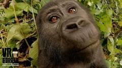 Videó: szelfi filmet készített a gorilla bébi az elcsent kamerával kép