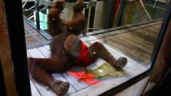 Videojátékot játszanak az orangutánok kép