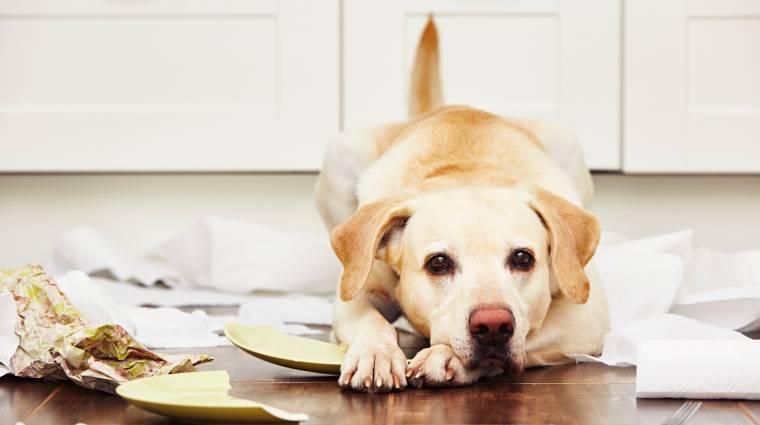 Így nézd meg távolról, miként semmisíti meg a kutyád az otthonod kép