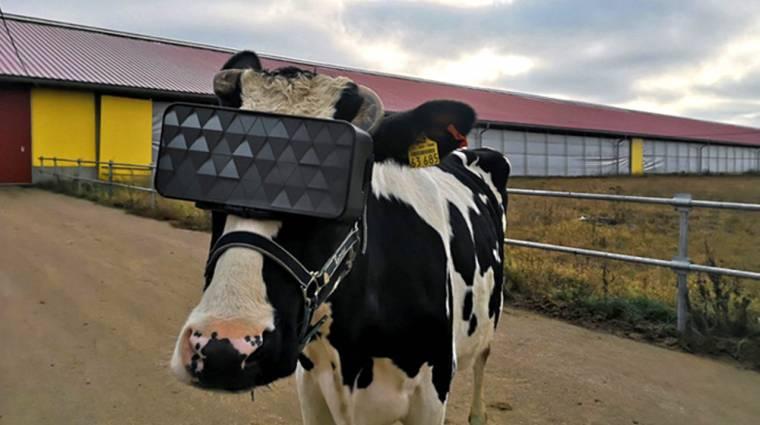 VR headsetet kapnak az orosz tehenek kép
