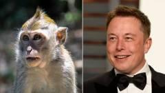 Elon Musk: az agyichipes majom boldog és videojátékokkal játszik kép