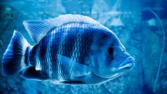 Láttál már olyan robotot, amely úgy úszik, mint egy igazi hal? kép