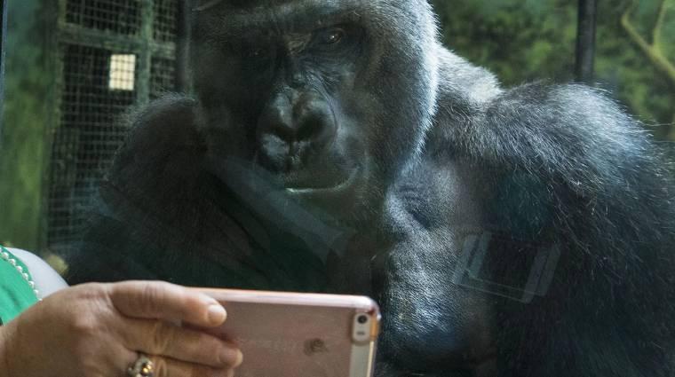 Gorillákat menthetsz, ha leadod régi mobilodat! kép