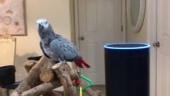 Itt a papagáj, amelyik okoshangszórón keresztül rendel az Amazonról kép